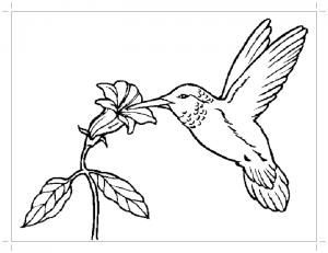 Раскраска колибри птица
