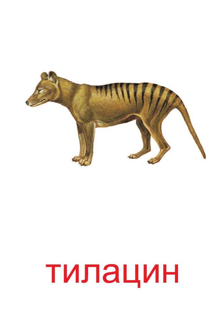 Тилацин