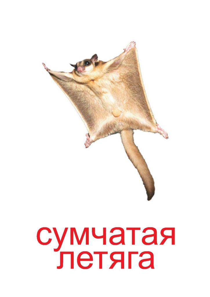 Сумчатая летяга