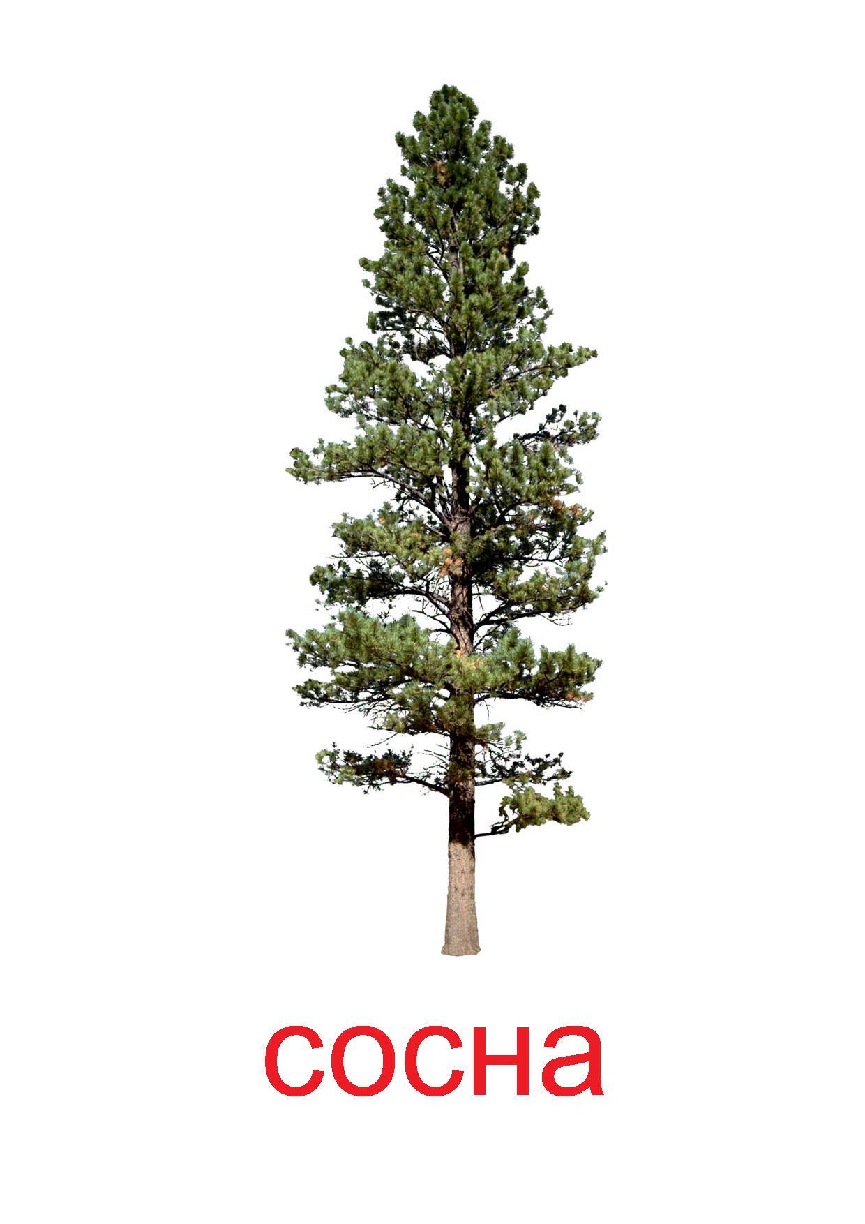 Картинка деревья и их семена береза сосна клен дуб 7