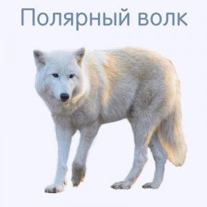 Полярный волк карточка