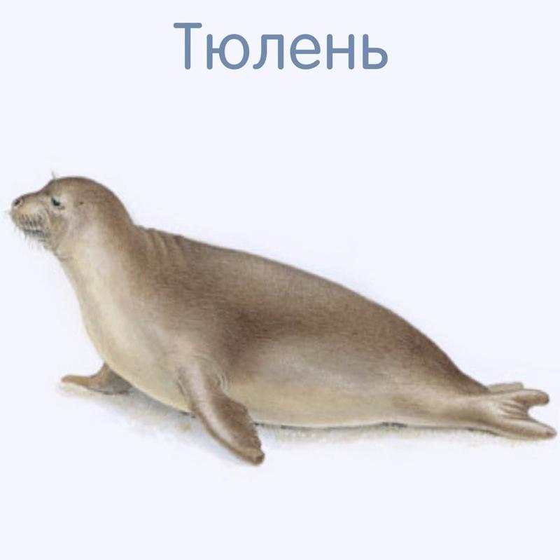 Тюлень карточка