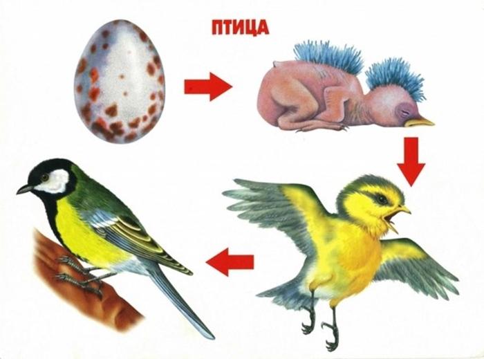 Как растет птица