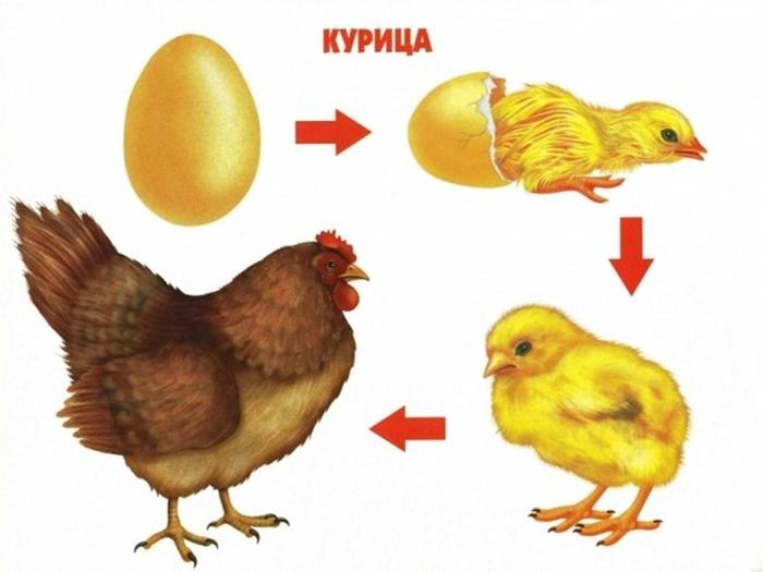 Как растет курица