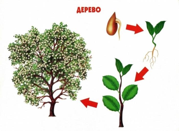 Как растет дерево
