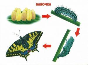 Как растет бабочка