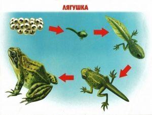 Как растет лягушка